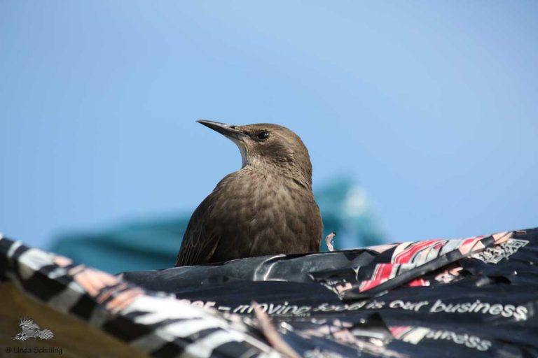 Junger Star, Young Starling